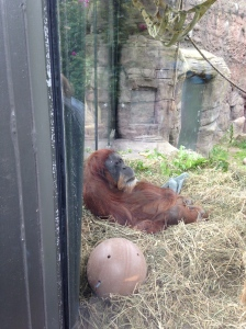 Oregon Zoo 2014 Orangutan