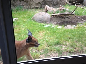 Oregon Zoo 2014 Caracal