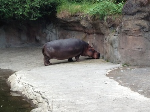 Oregon Zoo 2014 Hippo