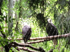 Oregon Zoo 2014 Bald Eagles