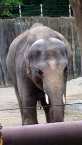 Oregon Zoo 2014 Elephant